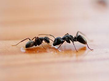 Hindmarsh-Pest-Control-Ants