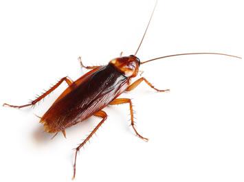 Hindmarsh-Pest-Control-Cockroaches