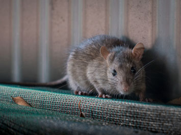 Hindmarsh-Pest-Control-Rodents