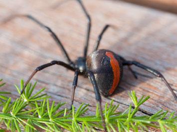 Hindmarsh-Pest-Control-Spiders