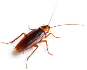 American cockroach image