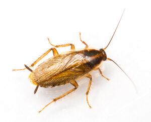 German cockroach image